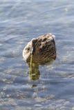 在湖的鸭子 免版税库存照片