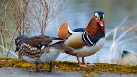 在湖的鸳鸯夫妇在春天 免版税图库摄影