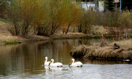 在湖的鹈鹕有鹅的 免版税库存照片