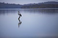 在湖的鹈鹕 免版税库存图片