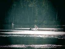 在湖的鹈鹕 图库摄影