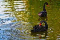 在湖的黑天鹅在外面公园 免版税图库摄影