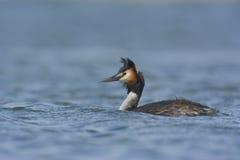 在湖的水禽 免版税库存图片