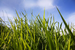 在湖的绿色芦苇有蓝天的 图库摄影
