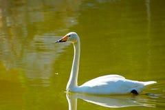 在湖的绿色水的白色天鹅游泳 免版税图库摄影