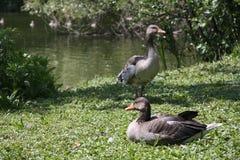 在湖的Gooses 库存照片
