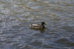 在湖的Ucks,在春天 免版税库存图片