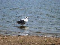 在湖盛大场所的少年笑的鸥 图库摄影