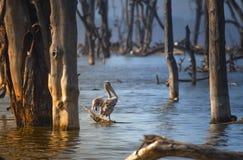 在湖纳库鲁的鹈鹕 库存照片