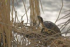 在湖芦苇床上的乌龟 免版税库存图片