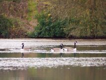 在湖表面秋天顶部的几只加拿大鹅 免版税库存图片