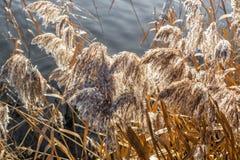 在湖边命中的干燥蒲苇由早晨阳光 免版税库存图片