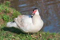 在湖边平地的白色俄国鸭子 免版税库存照片