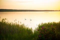 在湖边的日落,与天鹅在前景的背景和水厂中 休闲背景 库存照片