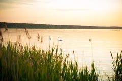 在湖边的日落,与天鹅在前景的背景和水厂中 休闲背景 图库摄影