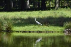 在湖边的灰色苍鹭 图库摄影
