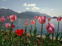 在湖边的郁金香花 库存图片