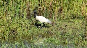 在湖边简单的生活方式的一白鹭草料 免版税库存图片