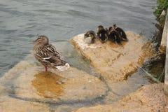 在湖边缘的鸭子家庭 免版税库存图片