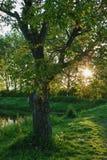 在湖银行的老核桃树 免版税图库摄影