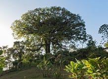 在湖阿雷纳尔,哥斯达黎加的大木棉树 免版税库存图片