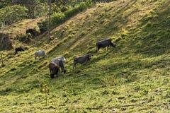 在湖阿雷纳尔,哥斯达黎加的小牛牧群 免版税库存照片