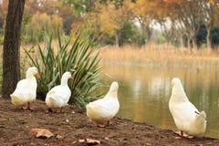 在湖附近的四只鸭子在森林里 免版税库存照片
