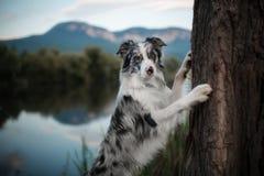 在湖附近的大理石黑白蓝色博德牧羊犬逗留 图库摄影