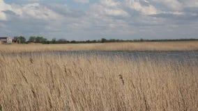 在湖附近的干燥芦苇 影视素材