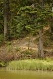 在湖附近的杉树 库存照片