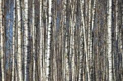 在湖附近的桦树树丛在春天 免版税库存图片
