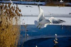 在湖附近的海鸥 库存图片