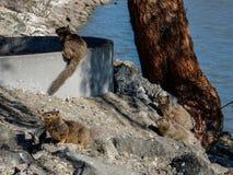 在湖附近的灰鼠 免版税库存图片