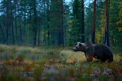 在湖附近的熊 与熊的秋天树 走在有秋天颜色的湖,黑暗的夜附近的美丽的棕熊 危险anim 免版税库存照片