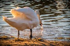 在湖附近的疣鼻天鹅 库存照片