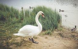 在湖附近的疣鼻天鹅 免版税库存照片