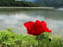 在湖附近的红色鸦片花 免版税库存照片