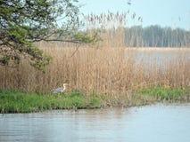 在湖附近的苍鹭鸟 库存照片