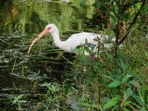 在湖饮用水的俏丽的鸟 库存图片