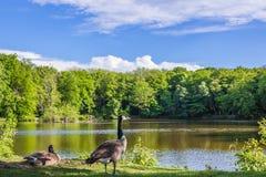 在湖,夏天的鸭子 库存图片