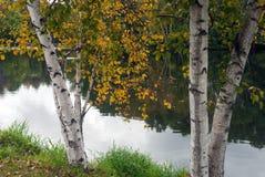 在湖,门罗县,威斯康辛的岸的秋天桦树 免版税库存图片