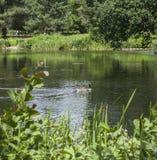 在湖, Kew庭院,伦敦的一只鸭子 免版税库存图片