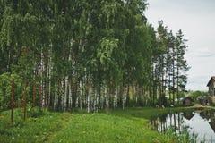 在湖9291的岸的桦树丛林 免版税库存照片