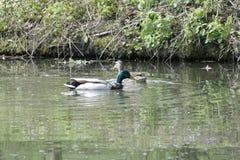 在湖水的鸭子本质上 免版税库存照片