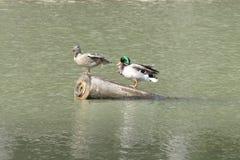 在湖水的鸭子本质上 免版税图库摄影
