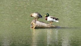 在湖水的鸭子本质上 库存图片
