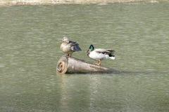 在湖水的鸭子本质上 免版税库存图片