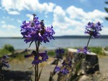 在湖黄石的紫色花 免版税库存照片