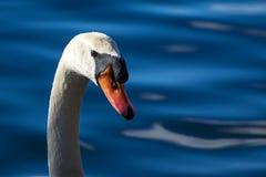 在湖细节的天鹅 免版税库存照片