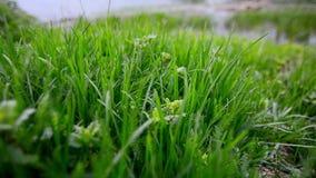 在湖2附近的新鲜的绿草 股票录像